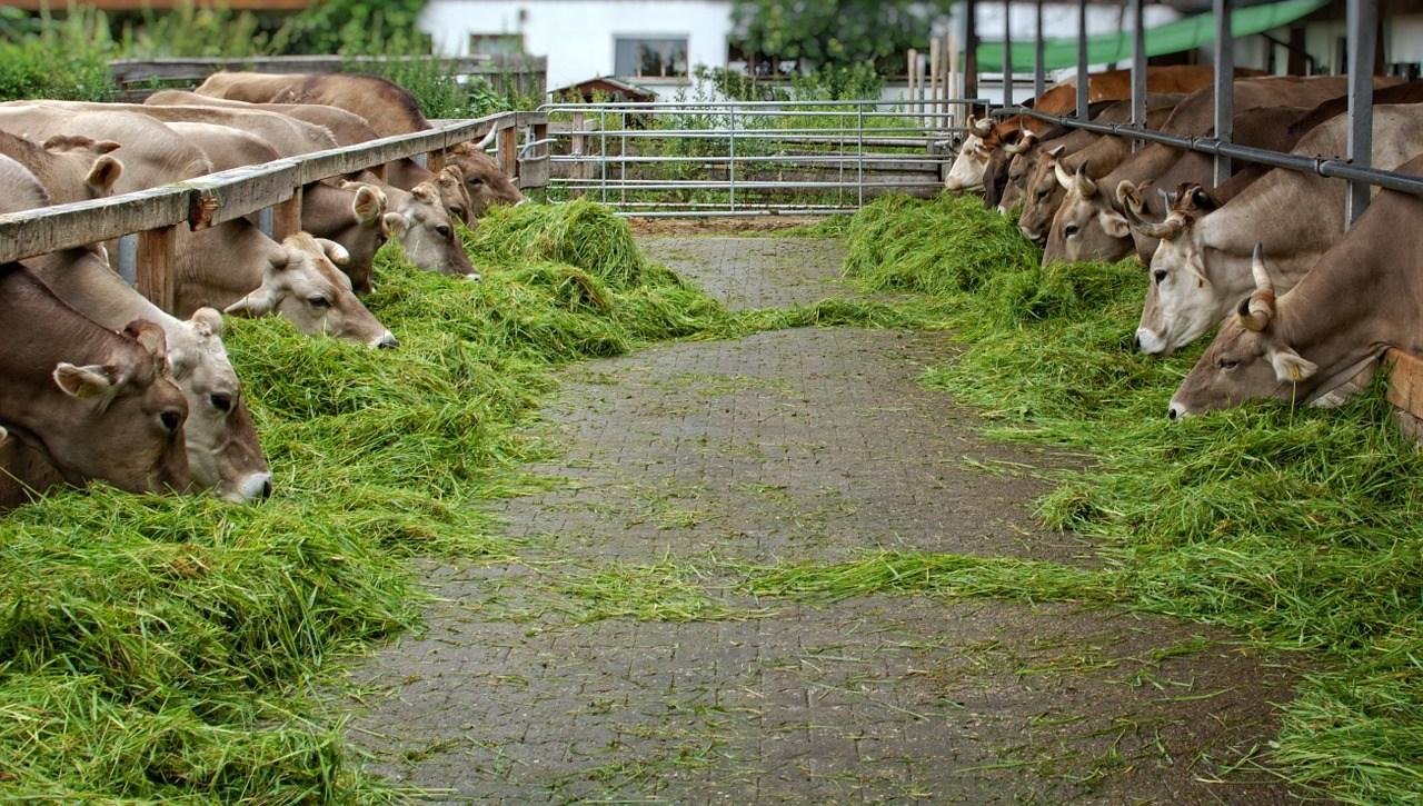 cara-menggemukan-sapi