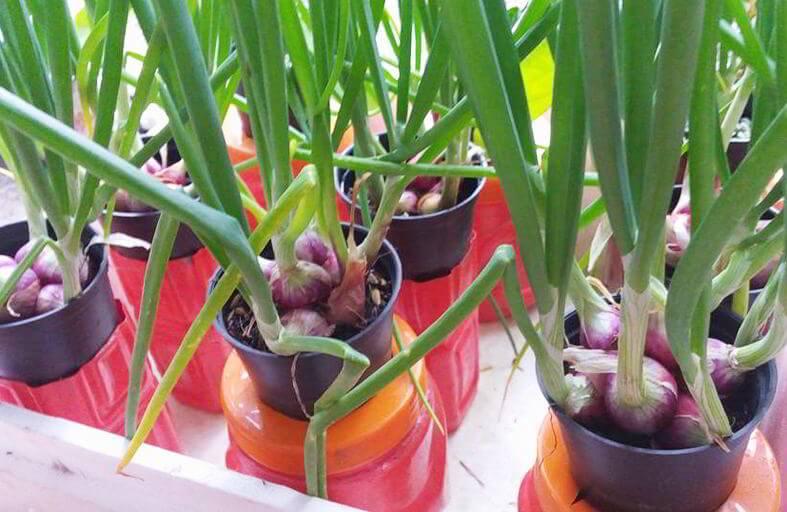 Cara Menanam Bawang Merah Hidroponik dan Pot Untuk Pemula