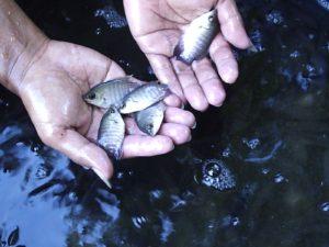 cara budidaya ikan gurami