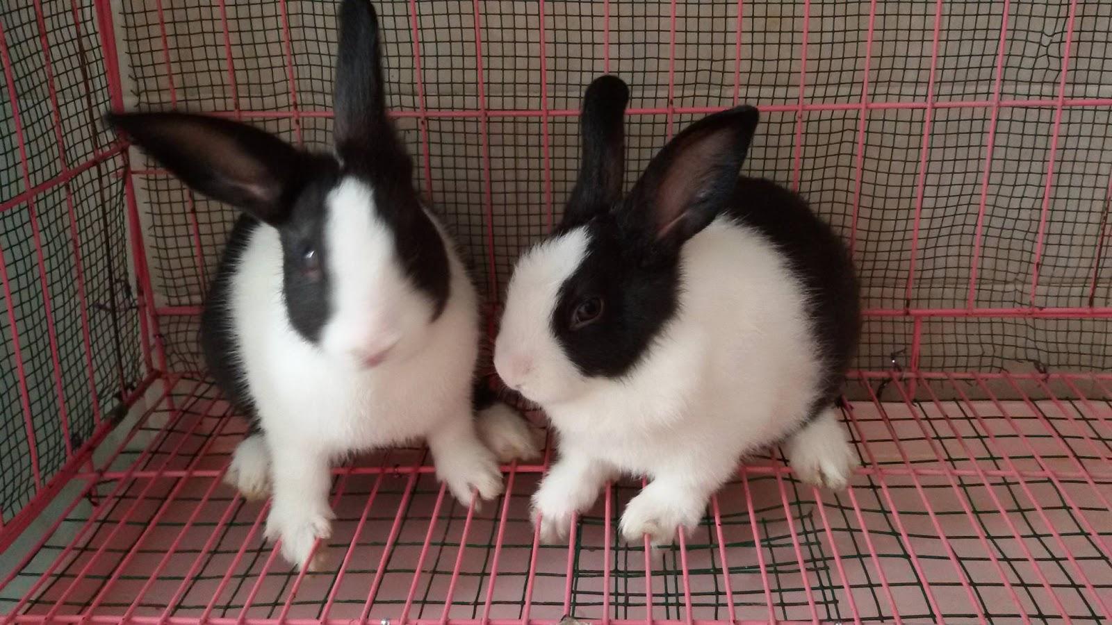 cara-merawat-kelinci-dutch-rabbit