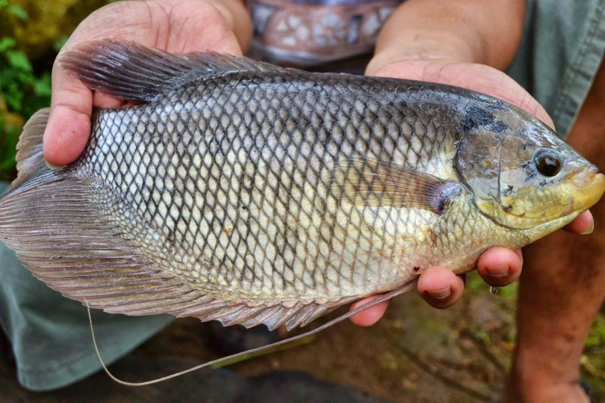 Cara Budidaya Ikan Gurami Agar Cepat Besar dan Cepat Panen