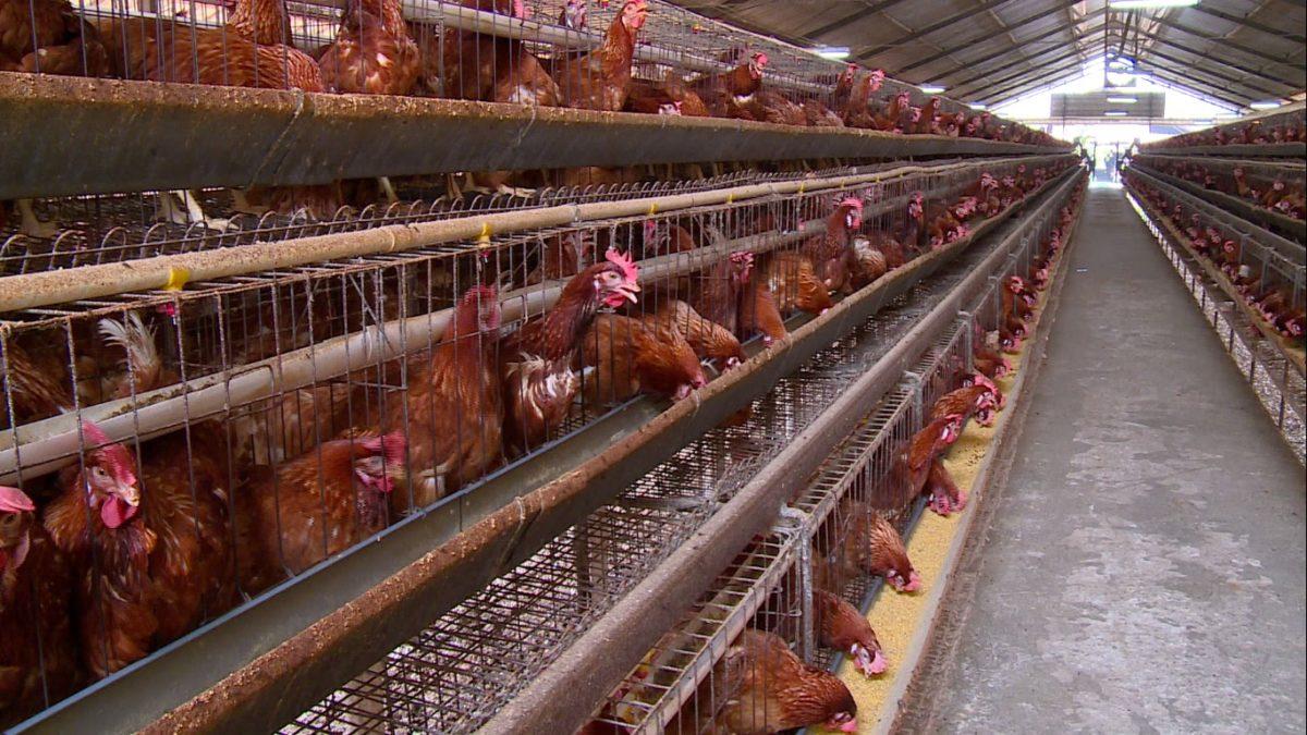 Cara Budidaya Ayam Kampung Dengan Modal Kecil Yang Menguntungkan
