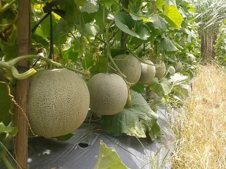 Cara Merawat Melon