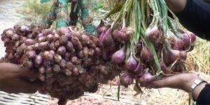 cara menanam bawang