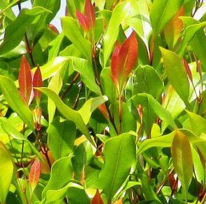 kegunaan daun cengkeh