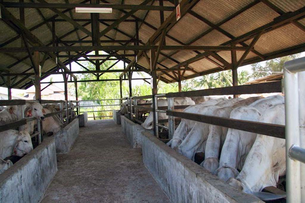 cara budidaya sapi perah