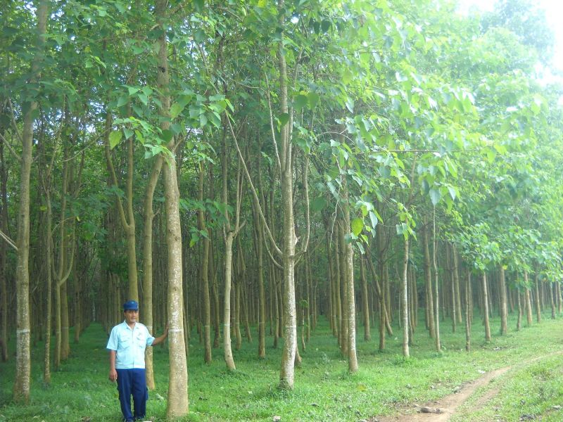 macam macam kayu kati - pohon jati
