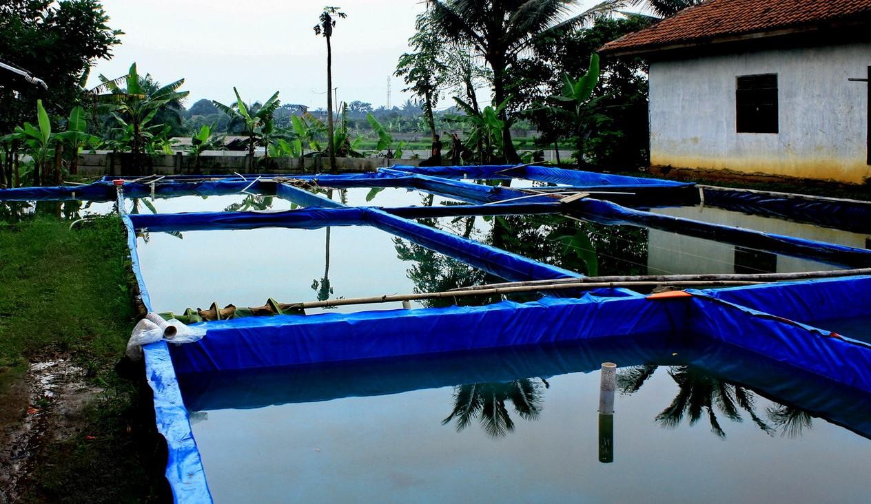 cara budidaya ikan lele kolam terpal bagi pemula padat dan ...