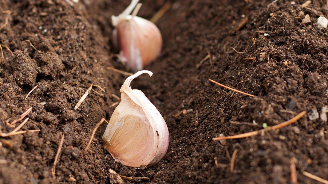 Cara Menanam Bawang Putih Hingga Proses Panen dan Pengawetan