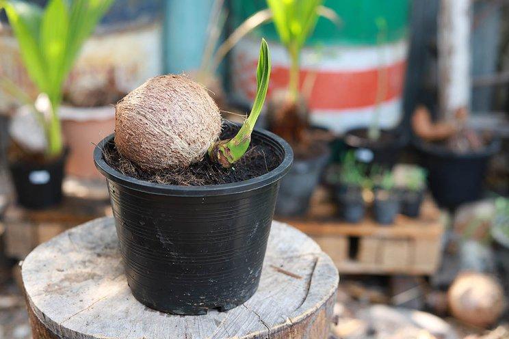 3 Langkah Mudah Cara Menanam Pohon Kelapa